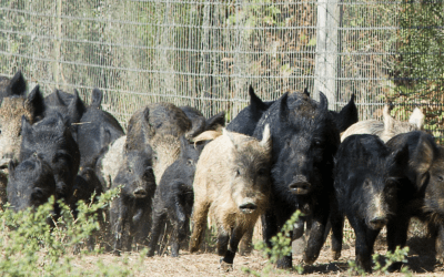 How Much Damage Can A Feral Hog Actually Do? – FACTS