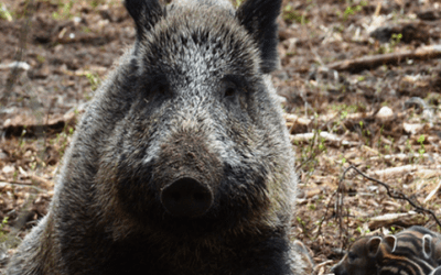 What You Need To Know About the History of Feral Hogs in the US