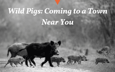 What Would Happen If We Didn't Hunt Wild Pigs?